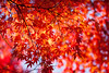 burning red (peaceful-jp-scenery (busy)) Tags: autumn leaves leaf maple sony 日本 紅葉 lightroom amount 山中湖 山梨 yamanakako カエデ fuji5lakes α700 dslra700 sal70300g 山中湖村 sony70300g 紅葉まつり 旭ヶ丘 夕焼けの渚