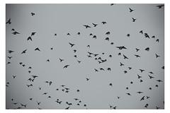 Etourneaux [Explored 11-10-2012] (Gabi Monnier) Tags: sky france birds automne canon pluie jour ciel provence oiseaux aubagne extérieur canoneos600d gabimonnier