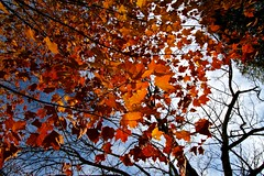Fall into Red (Samer Farha) Tags: red sky tree fall leaves charlottesville monticello canonefs1022mmf3545usm