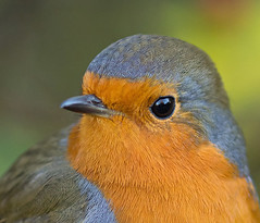 Robin (Explore) (Ohsobjork) Tags: bird robin birds wildlife brandon warwickshire brandonmarsh