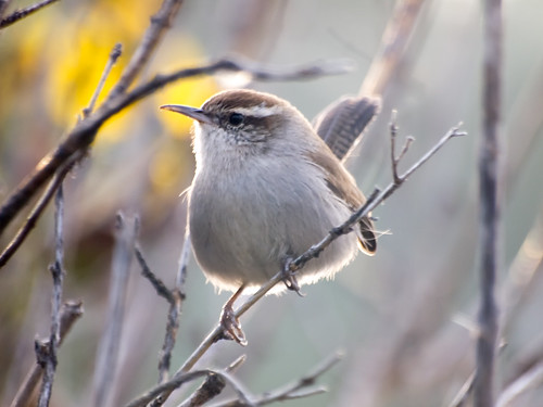 """Bewick's Wren • <a style=""""font-size:0.8em;"""" href=""""http://www.flickr.com/photos/59465790@N04/8181310742/"""" target=""""_blank"""">View on Flickr</a>"""
