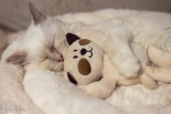 Poppy (347/365) (Jchales.co.uk) Tags: sleeping white cat project nose bed eyes hug kitten day teddy kitty ears days sleepy lilac sft poppy 365 poin torte birman 347 ef50mmf14usm
