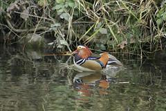 Mandarin Duck (Master Birder) Tags: mandarinduck aixgalericulata