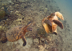public sex (bluewavechris) Tags: ocean life sea nature public water animal coral sex swim canon hawaii marine underwater snorkel turtle reptile wildlife dive maui shelf scales dome intercourse reef bang creature shag flipper 1022 seasea freedive publicsex t1i