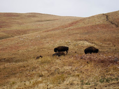 Tatonka (StokedBrandon) Tags: buffalo wildlife tatonka