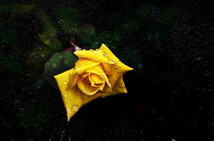 FROM THE SPACE..... (donatadag) Tags: light black flower rose yellow canon drops darkness ringexellence