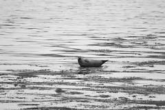 (ryan.worthington) Tags: greatbritain sea seascape beach water landscape photography scotland rocks alone ryan seal stare isleofarran worthington landscapephotography holyisle ryanworthington