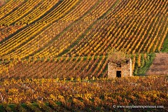 Autumn tint of gold - Beaujolais, France (My Planet Experience) Tags: france color colour fall automne canon golden vineyard wine lyon vine automn beaujolais pierres rhonealpes sane saone grandlyon dores wwwmyplanetexperiencecom myplanetexperience