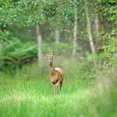 Wood Nymph (Alan MacKenzie) Tags: animal forest woodland mammal sussex wildlife doe roedeer