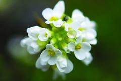 Thlaspi Sylvium (Wrinzo) Tags: flowers flower erba fiore ayas valledaosta piemontese valdayas verra fiorei storna thlaspisylvium ghiacciaiograndediverra