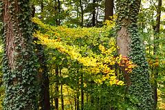 IMG_0485 (flyinger305) Tags: wood autumn light oktober sun tree fall forest season golden licht leaf laub herbst jahreszeit sunny colored colourful blatt sonnig sonne wald baum sonnenstrahl beech bunt herbstlaub farbenfroh buchenblatt