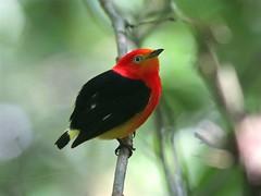 NE Brazil: Band-tailed Manakin (spiderhunters) Tags: brazil bird northeast rainforests neotropics baturite piprafasciicauda bandtailedmanakin serrabaturiteguaramiranga