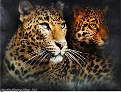 fauna (soult1) Tags: fauna leopardo arte texturas composicion lostcontperdidos rememberthatmomentlevel1 me2youphotographylevel2 me2youphotographylevel3 me2youphotographylevel1
