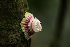 Napoleonaea angolensis (zimbart) Tags: africa trees congo drcongo lecythidaceae yangambi napoleonaea napoleonaeavogelii cobimfo