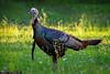 Thanksgiving-Turkey-from-Riverbend-Park-Jupiter-Florida (Captain Kimo) Tags: thanksgiving turkey riverbendpark photomatixpro singleexposurehdr topazadjust captainkimo topazlenseffect