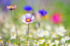 Paint a Pretty Garden (Simon Downham) Tags: flowers light wild floral field garden petals flora pretty paradise bokeh pastel dream meadow sunny pastels dreams dreamy colourful delicate halcyondays dsc4814acr2shd1c2sc1cx
