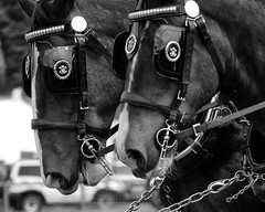 Working Shires (AmyBramley) Tags: show horse brewery shire heavy bakewell equine draught