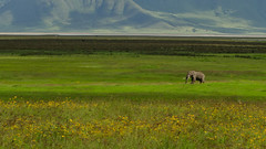 A large elephant with a  broken tusk at Ngorongor Crater (Ganesh raghunathan) Tags: africa landscape ngorongoro crater elephants ngorongorocrater grassland mammals