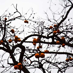 Kaki no ki (gherm) Tags: autumn sky orange paris france tree fall fruits automne canon garden grey gris jardin ciel persimmon arbre kaki diospyros serresdauteuil plaqueminier gherm formatcarr eos5dmarkii 1211190280