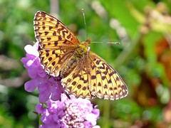 A Summer Butterfly (presbi) Tags: macro butterfly papillon mariposa trentino farfalla valdinon t