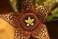 Starfish cactus (diemmarig) Tags: stapelia riccardo starfishcactus orbeavariegata apocynaceae