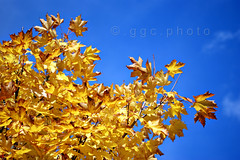 ...the sight of the blue sky filled her with joy... (ggcphoto) Tags: sky orange yellow 50mm bluesky autumnleaves sonyalpha gettyimagesirelandq12012 yahoo:yourpictures=yourbestphotoof2012
