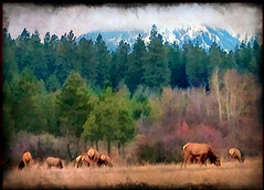 Waiting for the Snow (h_roach) Tags: wild mountains fall nature animals horizontal snowcapped explore pacificnorthwest elk washingtonstate cascade herd grazing photomix artdigital tatot