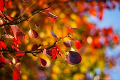 Red Spoons on the Tree (icemanphotos) Tags: autumn trees red sky sunlight nature leaves yellow 50mm gold leaf mood bokeh background naturallight iceman anawesomeshot icemanphotos