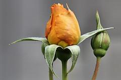 """Love is like the wild rose-briar; (Alexandra Rudge. Wishing you happiness!!!) Tags: flowers roses plants naturaleza plant flores flower planta nature rose canon plantas flor rosa buds bud plantae rosas peachrose rosales pimpollo rosacea californiaroses rosewithbuds laroses losangelesroses rosewithbud alexandrarudge rosacolordurazno rosaconpimpollo southerncaliforniaroses alexandrarudgeflowers alexandrarudgeroses alexandrarudgeimages alexandrarudgephotography"