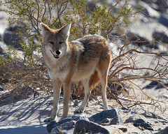 Coyote (jerryfi_99) Tags: california coyote deathvalley