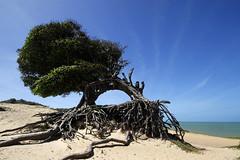 Litoral Norte/RN (Ricardo_ Lima) Tags: travel sea brazil tree tourism brasil clouds leisure turismo árvore blueskye riograndedonorte céuazul worldcup2014