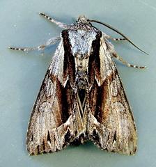 Hyppa contrasta 9579 (willapalens) Tags: county washington pacific moth dna bold willapa 9579 contrasta hyppa