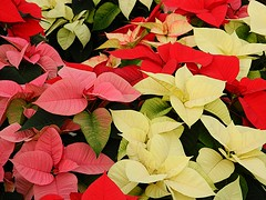 Poinsettias (careth@2012) Tags: poinsettia beautifulearth amazingnature capturedimages awesomeblossoms passionforflowers suzysflowersgallery passionforflowerslevel3 passionforflowerslevel4 passionforflowerlevel2 passionforflowerslevel5