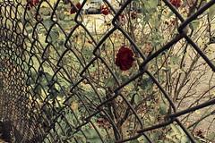 october%252026th%2520%25232%2520009 (dianagondor) Tags: red flower photography tech highschool diana photowalk comm signofspring gondor beamsville october26th2