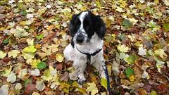 Vinny leaps into Autumn (ambo333) Tags: uk autumn england walk cumbria spaniel cockerspaniel autumnal vinny vinnie brampton dogwalk olibondvinniejones olibond olibondspaniels olibondcockers olibondcocker