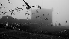Flight ~ Explored (intrazome) Tags: travel blackandwhite bw birds fog d50 nikon morocco essaouira