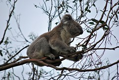 Koala, Great Otway National Park (stephenk1977) Tags: ocean road park nikon great australia victoria national koala cape vic otway d60