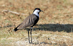 Spur-winged Lapwing (-Filippos-) Tags: nature birds wildlife cyprus ornithology  kypros vanellusspinosus    l26        pellokaterina