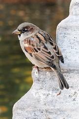 pajarito (Elena Grandi) Tags: madrid city brown bird nature outside town pajaro animale uccello passerotto allaperto piume