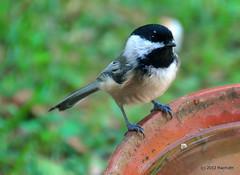 DSC_0426 (RachidH) Tags: nature birds nj chickadee sparta blackcappedchickadee oiseaux mésange poecileatricapillus mésangeàtêtenoire rachidh