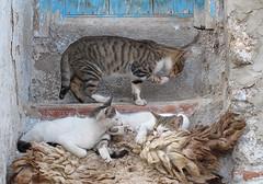 Chefchaouen, Morocco (Sallyrango) Tags: africa cats northafrica morocco maroc chaouen chefchaouen rif straycats streetcats rifmountains