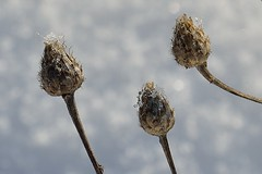 Future twins (Giuli Musico) Tags: flowers winter snow cold ice nature natura neve fiori inverno freddo ghiaccio gemme