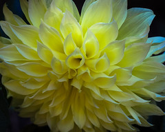 Dahlia (San Francisco Gal) Tags: dahlia dinnerplatedahlia kelvinfloodlight flower fleur bloom blossom macro yellow