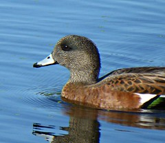 American Wigeon, First of the Season (kellermartha453) Tags: american wigeon first season august may breeding grounds common winter residents inland lakes rivers northwestern parts canada us swan lake victoria bc