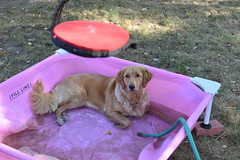 DSC_0151 (ghoulia) Tags: goldendoodle goldenretriever poodle labradoodle labrador rovercom dogvacay
