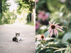 Leo & Echinacea (LindaRaymond) Tags: flowers diptych cat montreal