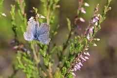 Broken wings (liisatuulia) Tags: kanerva perhonen sinisiipi heather butterfly blue porkkala
