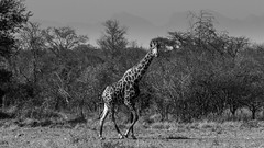 Old male girafe (mathis_drapeau) Tags: girafe mammal wild wildlife africa african southafrica black white landscape animal bush savana giraffe mountains treck
