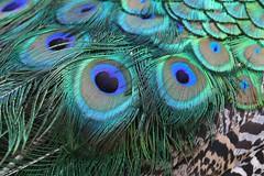 Eyespots on the Peacock's Feathers (praja38) Tags: eyespots feathers train ocelli capricorn humour life wildlife nature wild torontozoo caps blue peacock peafowl male bird fowl indianpeacock