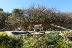 Zebra at the Taronga Zoo in Sydney (Mister Bunny) Tags: australia sydney tarongazoo zoo mosman newsouthwales au zebra